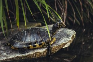 tortuga-mascota-ninos